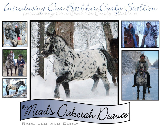 American Bashkir Curly Stallion, Leopard Spotted Stallion. Promise Land Curly Ranch. *Mead's Dakota Deauce.
